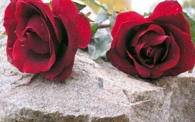 две красные розы