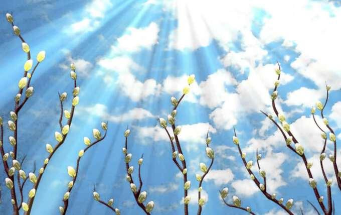 верба под лучами солнца