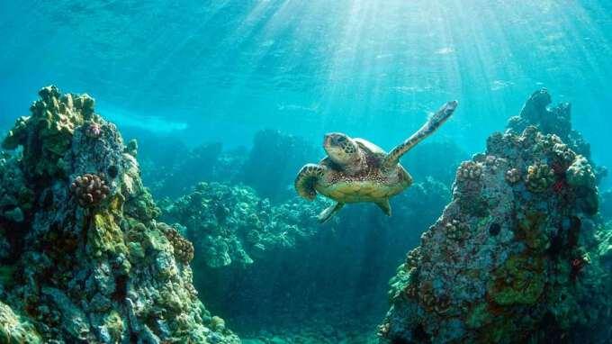 черепаха в океане